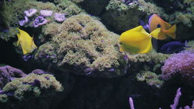 Aquarium, Fish Tank, Coral Reef, Animals, Nature. Many beautiful gold fish underwater with coral stock footage