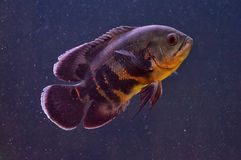 Aquarium fish. In their natural environment under water Royalty Free Stock Photography