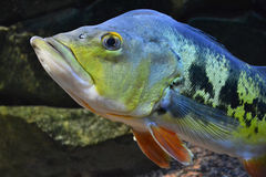 Aquarium fish Tsihla otsellyaris Royalty Free Stock Images