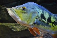 Aquarium fish Tsihla otsellyaris. Perch royalty free stock images