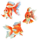 Aquarium fish watercolor painting. Three goldfish aquarium in different angles (watercolor painting Stock Image