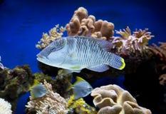 Aquarium fish. Stock Photos