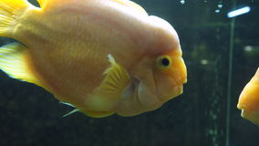Aquarium fish. Yellow fish of Cichlasoma parrot.  stock footage