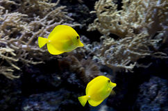 Aquarium fish Yellow surgeon. Stock Photos