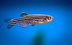 Aquarium fish zebrafish stock image