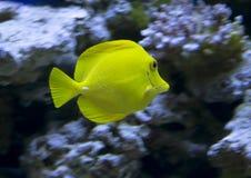 Aquarium fish Zebrasoma sailing yellow. Stock Photos
