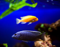Aquarium fishes. Swimming in blue water Royalty Free Stock Photos