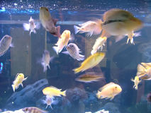 Aquarium fishes Royalty Free Stock Photo