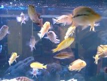 Aquarium fishes royalty free stock photo