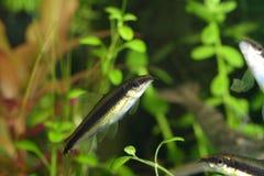 Aquarium fishes. Exotic fishes in aquarium, natural lighting Stock Photo