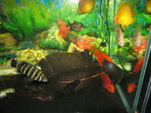 Aquarium fishes. Aquarium with few yellow and orange gold fishes, fish with black and white lines and green water plants Stock Photo