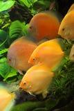 AQUARIUM FISHES. Nice colorfull fishes in aquarium Stock Photos
