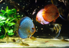 Aquarium fishes Royalty Free Stock Photography