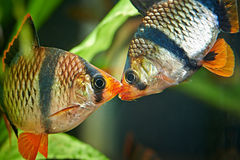 Aquarium fishes. Barbus puntius tetrazona Stock Images