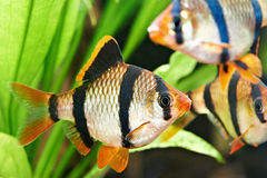 Aquarium fishes. Barbus puntius tetrazona Royalty Free Stock Photos