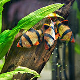 Aquarium fishes. Barbus puntius tetrazona Stock Photography