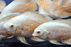 Aquarium fishes. Beautiful aquarium fishes, which is a type of flowerhorn cichlid fish, is freely swimming in water Royalty Free Stock Photography