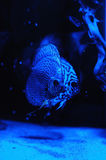 Aquarium fishes in blue light. Stock Photography