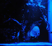 Aquarium fishes in blue light. Royalty Free Stock Image