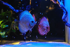 Aquarium fishes in blue light. Stock Photo