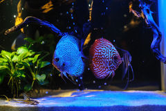 Aquarium fishes in blue light. Stock Photos
