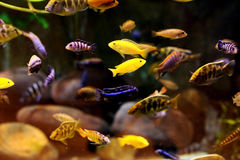 Aquarium fishes. Demasoni, striped and yellow Royalty Free Stock Photos
