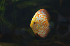 Aquarium fishes. Discus. Royalty Free Stock Image