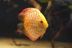 Aquarium fishes. Discus. Stock Photography