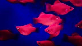 Aquarium fishes floating closeup. Purple aquarium fishes floating closeup - fullHD video stock video