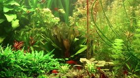 Aquarium fishes Royalty Free Stock Images