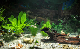 Aquarium with fishes, natural plants and rocks. Tropical fishes. Aquarium with green plants. Royalty Free Stock Photo