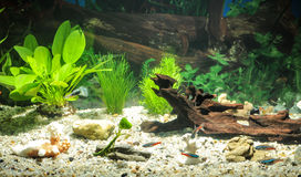 Aquarium with fishes, natural plants and rocks. Tropical fishes. Aquarium with green plants. Royalty Free Stock Images