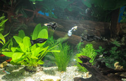 Aquarium with fishes, natural plants and rocks. Tropical fishes. Aquarium with green plants. Royalty Free Stock Image
