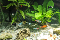 Aquarium with fishes, natural plants and rocks. Tropical fishes. Aquarium with green plants. Stock Photo