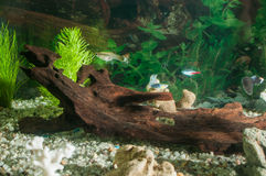 Aquarium with fishes, natural plants and rocks. Tropical fishes. Aquarium with green plants. Stock Images
