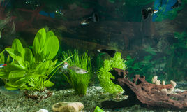 Aquarium with fishes, natural plants and rocks. Tropical fishes. Aquarium with green plants. Stock Photos