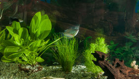 Aquarium with fishes, natural plants and rocks. Tropical fishes. Aquarium with green plants. Royalty Free Stock Photos