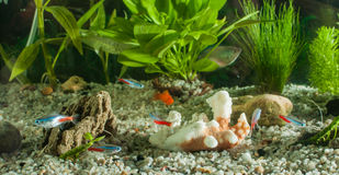 Aquarium with fishes, natural plants and rocks. Tropical fishes. Aquarium with green plants. Royalty Free Stock Photography