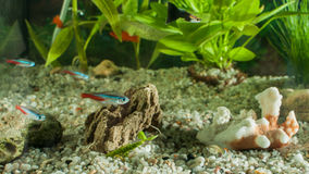 Aquarium with fishes, natural plants and rocks. Tropical fishes. Aquarium with green plants. Stock Photography