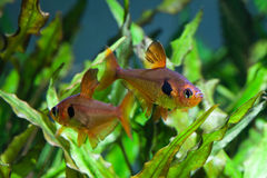 Aquarium fishes. Rosy Tetra. Aquarium fish. Rosy Tetra. Nature tank. Freshwater tank. A green beautiful planted freshwater aquarium with Tetra fishes. (macro Stock Photo