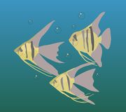 Aquarium fishes, scalars, floating in water. Illustration. Aquarium fishes, scalars. Three small fish with bubbles on a blue water background Stock Photos