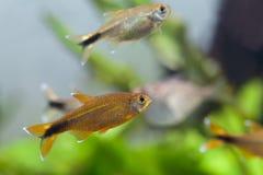 Aquarium fishes in tank. macro view Stock Photos