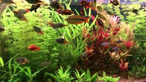 Aquarium fishes and water plants Royalty Free Stock Image