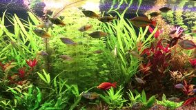 Aquarium fishes and water plants Royalty Free Stock Images
