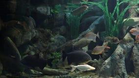 Aquarium. Freshwater aquarium with big fishes stock video