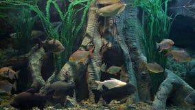 Aquarium. Freshwater aquarium with big fishes stock video footage