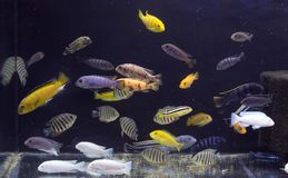 Aquarium full of coloured fishes. A beautiful fresh water aquarium full of coloured fishes royalty free stock photography