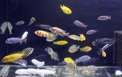 Aquarium full of coloured fishes. A beautiful fresh water aquarium full of coloured fishes stock photo