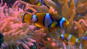 Aquarium of genoa, clown fishes. A small, tropical marine fish with bold vertical stripes stock video footage