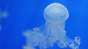 Aquarium of genoa, jellyfishes. Jellyfish are found in every ocean, from the surface to the deep sea stock video